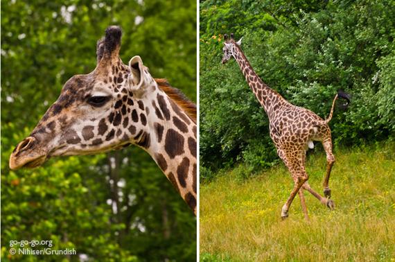 6-Giraffe