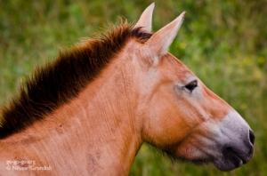 7-Przewalskis_Horse