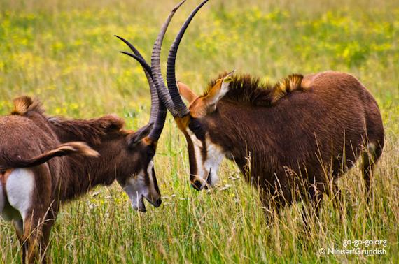 8-Sable_Antelope
