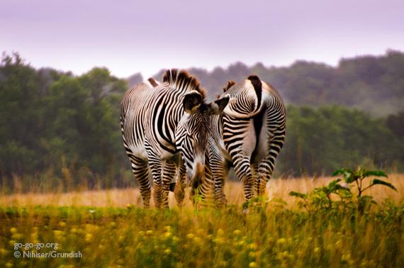9-Zebras