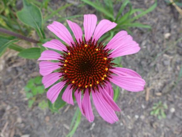 Everyday Photo: Cone Flower