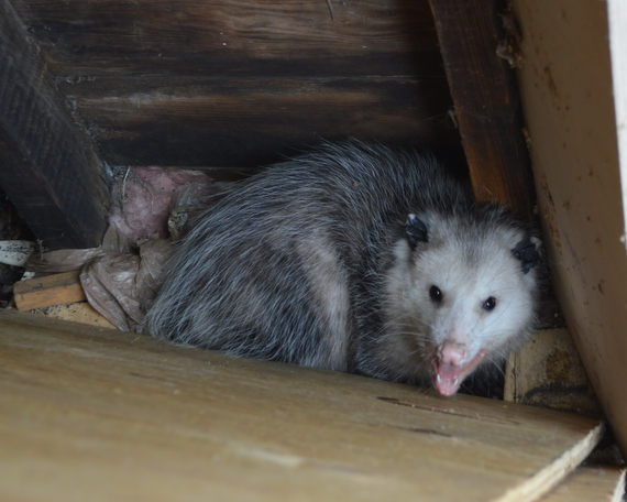 Everyday Photo: Angry Opossum